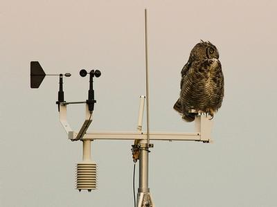 Great horned owl on weather station